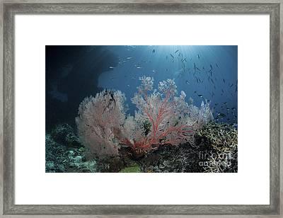 Sunlight Illuminates A Large Gorgonian Framed Print by Ethan Daniels
