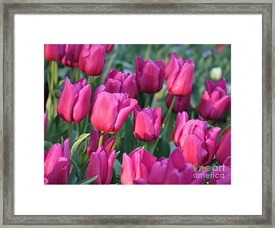 Sunlight On Pink Tulips Framed Print by Carol Groenen