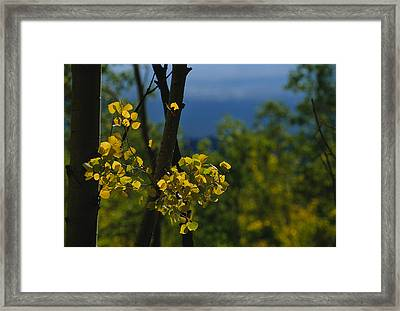 Sunlight Shines On Golden Aspen Tree Framed Print by Raul Touzon