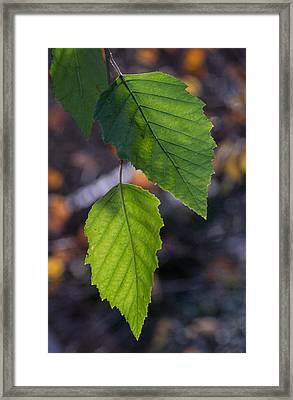 Sunlight Through Birch Leaf Branch Framed Print