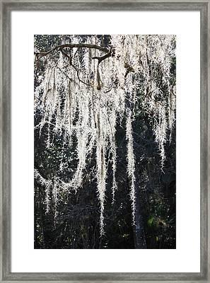 Sunlight Through Spanish Moss Framed Print