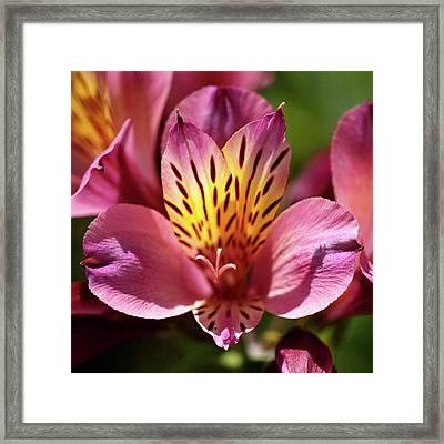 Sunlit Alstroemeria Framed Print