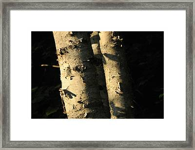 Sunlit Birch Framed Print