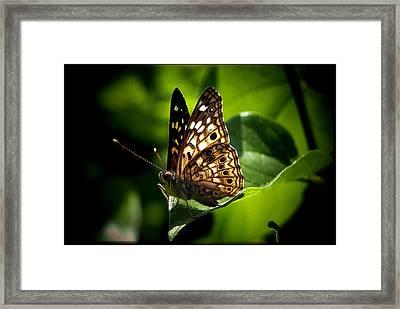 Sunlit Butterfly Framed Print by Karen Scovill