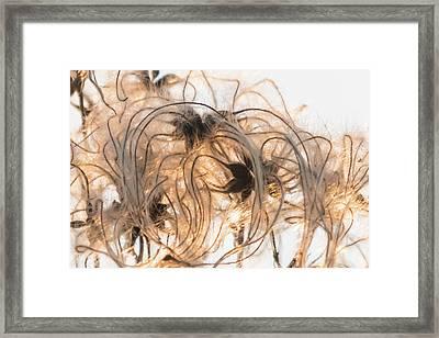 Sunlit Clematis Seeds Framed Print