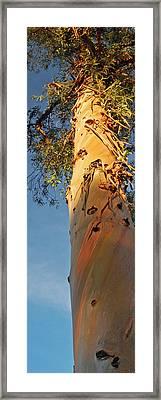 Sunlit Eucalyptus Framed Print by Jean Booth