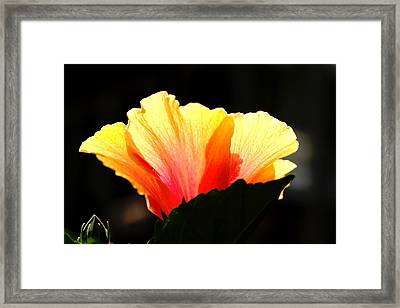Framed Print featuring the photograph Sunlit Hibiscus by Diane Merkle