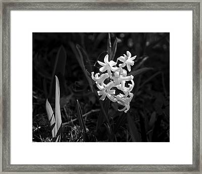 Sunlit Hyacinth Framed Print by Rona Black