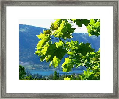 Sunlit Maple Greenery Framed Print