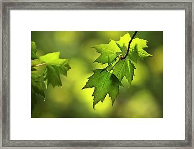 Sunlit Maple Leaves In Spring Framed Print