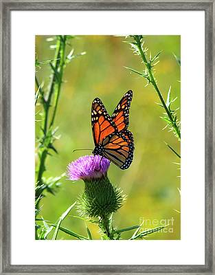 Sunlit Monarch  Framed Print