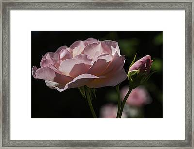 Sunlit Pink Beauty Framed Print