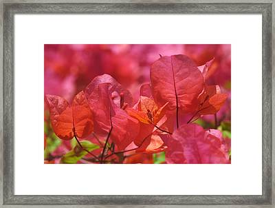 Sunlit Pink-orange Bougainvillea Framed Print