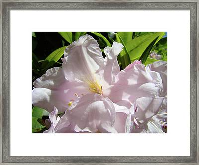 Sunlit Rhododendron Flowers Art Prints Floral Baslee Troutman Framed Print