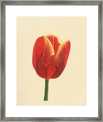 Framed Print featuring the drawing Sunlit Tulip by Phyllis Howard