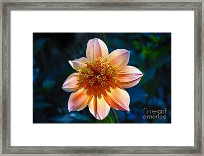 Sunlite Dahlia  Framed Print