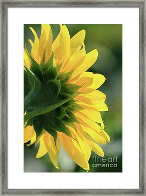 Sunlite Sunflower Framed Print