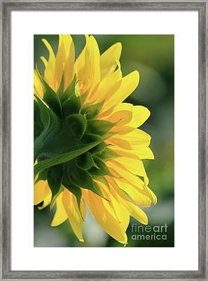 Sunlite Sunflower Framed Print