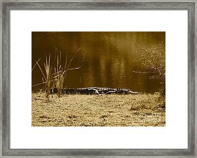 Sunning Gator Framed Print