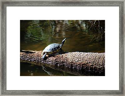 Sunning Turtle Framed Print by Rosanne Jordan