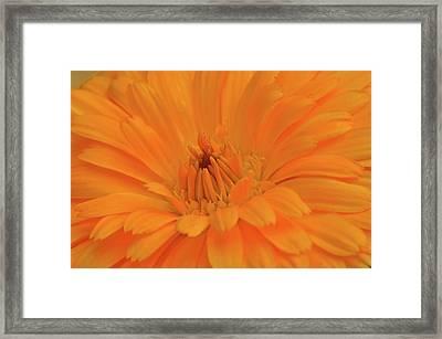 Sunny Calendula Framed Print by Maria Suhr
