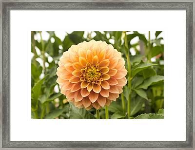 Sunny Dahlia Framed Print