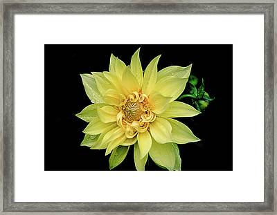 Framed Print featuring the photograph Sunny Dahlia by Julie Palencia