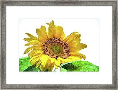 Framed Print featuring the photograph Sunny Flower by Jenny Rainbow