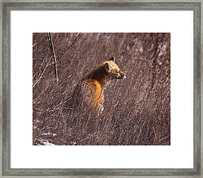 Sunny Soaked Fox Framed Print by Robert Pearson