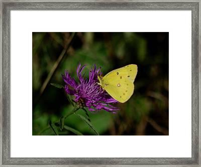 Sunny Sulfur Framed Print by Adria Trail