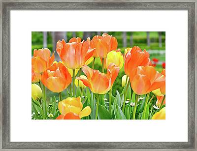 Framed Print featuring the photograph Sunny Tulips by David Lawson