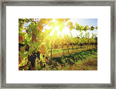 Sunny Vineyard Framed Print by Carlos Caetano