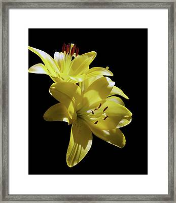 Sunny Yellow Lilies Framed Print