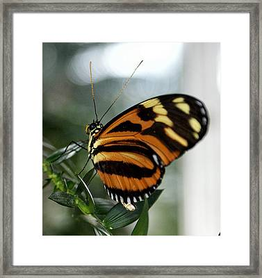 Sunrise Butterfly Framed Print by Jean Haynes