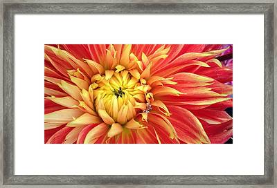 Sunrise Dahlia Framed Print by Bruce Bley