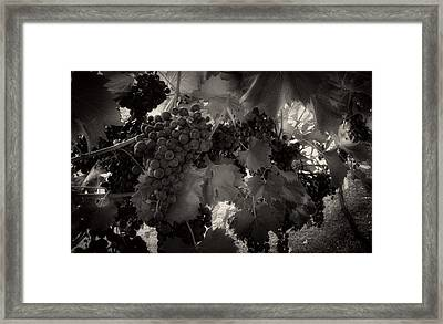 Sunrise In The Vineyard In Black And White Framed Print
