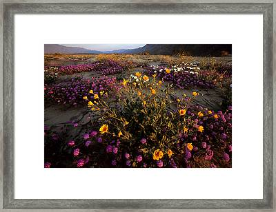 Sunrise On Desert Wildflowers Framed Print by Tim Laman
