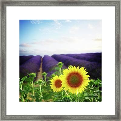 Sunrise Over Sunflower And Lavender Field Framed Print