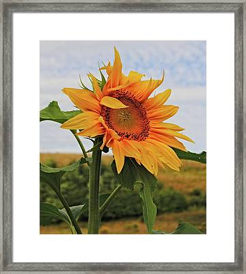 Sunrise Sunflower Framed Print by Kathleen Sartoris