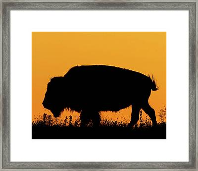 Sunset Bison 2 Framed Print