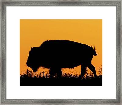Sunset Bison 2 Framed Print