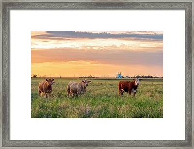 Sunset Cattle Framed Print