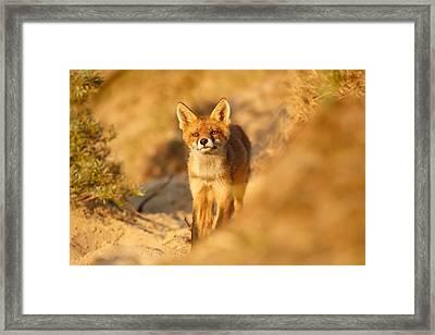 Sunset Fox Cub Framed Print by Roeselien Raimond