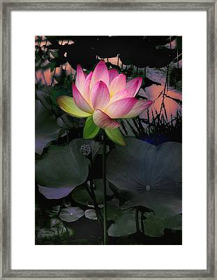 Sunset Lotus Framed Print