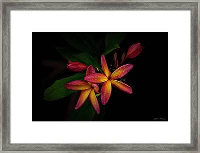 Sunset Plumerias In Bloom #2 Framed Print