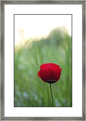 Sunset Poppy Framed Print