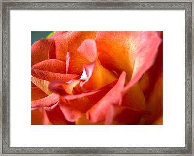 Sunset Rose One Framed Print by Abigail Markov