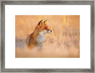 Sunset Series - Red Fox At Sunset Framed Print