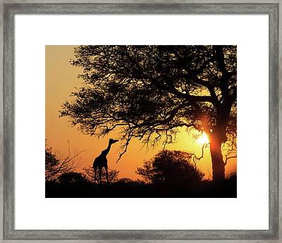 Sunset Silhouette Giraffe Eating From Tree Framed Print by Susan Schmitz