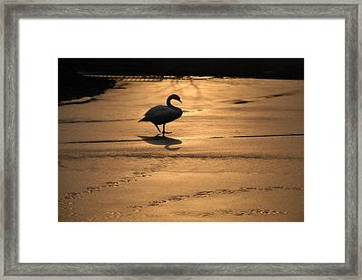 Framed Print featuring the photograph Sunset Swan by Richard Bryce and Family